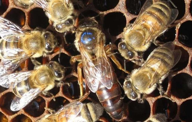 Пчелопакеты сотовые и безсотовые