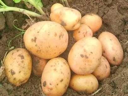 Ziemniak irys irga