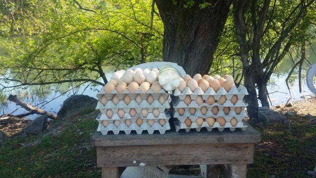 Jaja jajka wolny wybieg s m l xl białe brązowe kremowe hurt