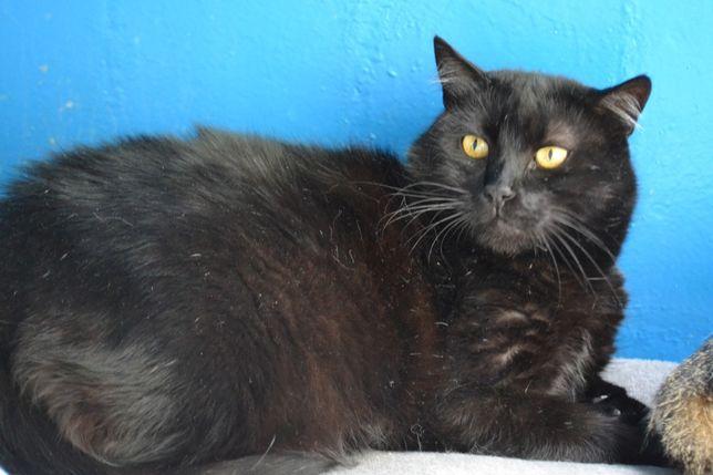 стерилізована чорна кішка 2 роки