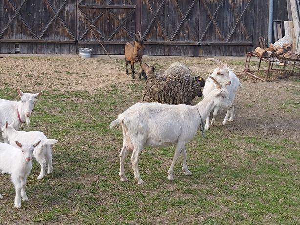 Kozy, koziołek i owce rasy wrzosówka