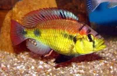 Haplochromis Aeneocolor Yellow Belly pyszczak Wiktoria od ręki Gdańsk