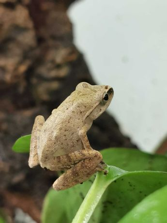 Bambusowa żaba latająca Polypedates leucomystax