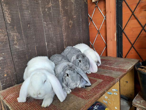 Królik króliki francuski baran biały I szynszylowy