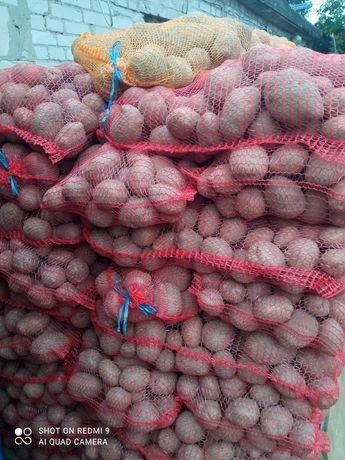 Ziemniaki jadalne Vineta lord