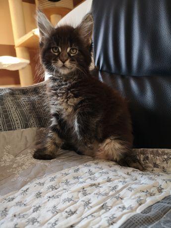 Przepiękne kociaki Maine Coon z rodowodem FPL-u
