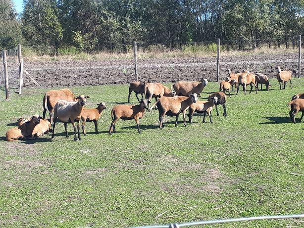 Owce , maciorki Kameruńskie