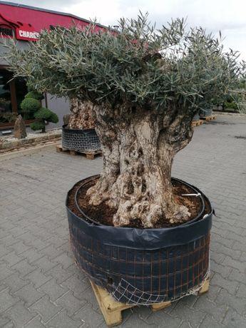 Drzewo Oliwne Bonsai - Olea Europea Bonsai 180cm - nr 54