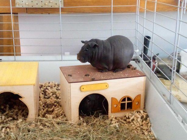 Zamienię 2 samice świnki Skinny
