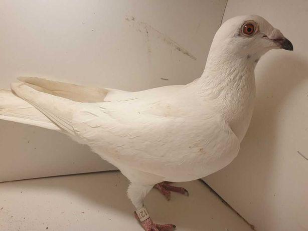 Gołębie Pocztowe Ludo Claessens