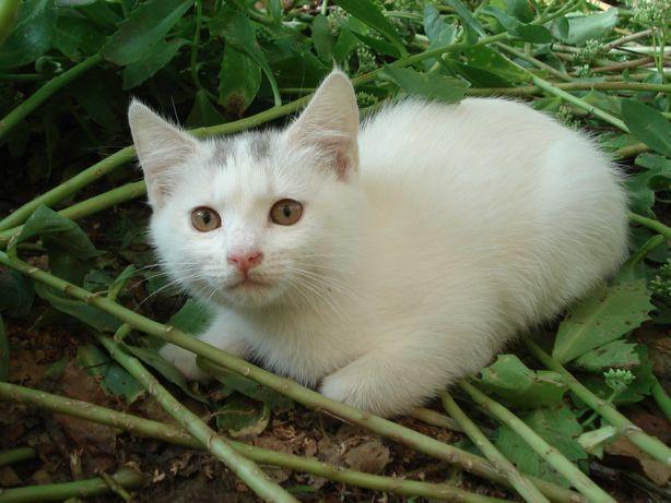Котенок (кошка) Снежка, 3 месяца, ищет домашний уют и доброго хозяина