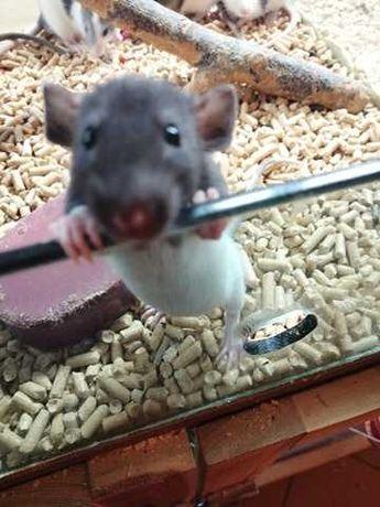 Młodziutkie szczurki dumbo oraz standard