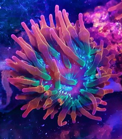 Ukwiał quadricolor Rainbow , Akwarium morskie , koralowiec