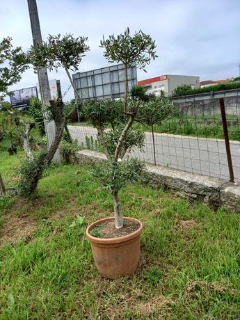 Oliveiras Bom Preço! / Plantas / Árvores / Jardim