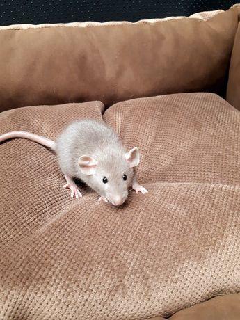 Szczurki Dumbo (samiec)