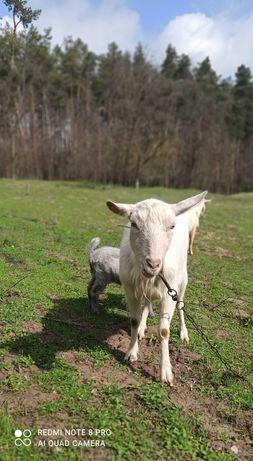 Зааненская коза, козлята, козочки