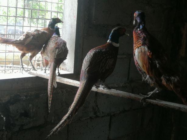 Bażanty łowne ptaki