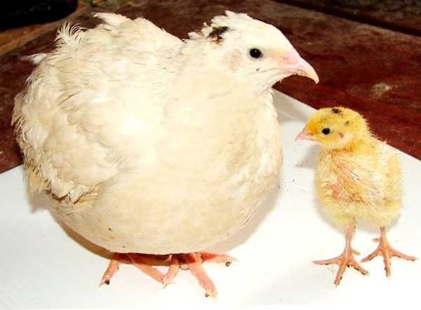 Перепела, яйца, продам