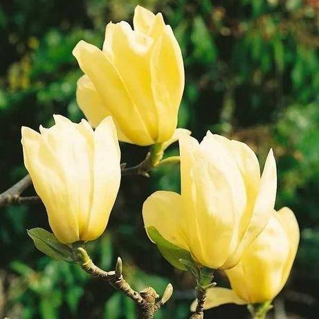 Магнолия Yellow Bird (желтая)  80- 100 см - 1200грн