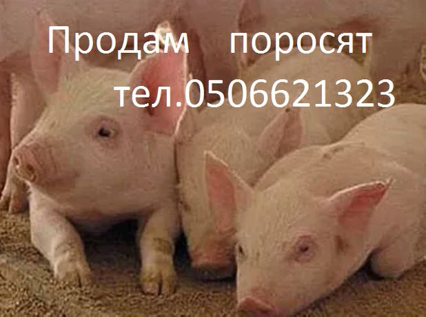 Поросята .с.Качкаровка.Бериславский рн