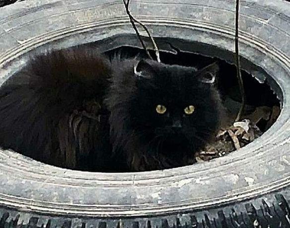 Отдам чёрного пушистого котенка ,мальчик , 7 месяцев ,кастрирован