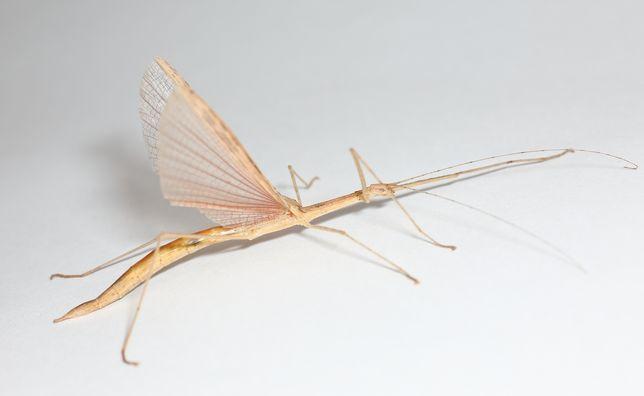 Patyczak skrzydlaty Sipyloidea sipylus od nimfy do imago