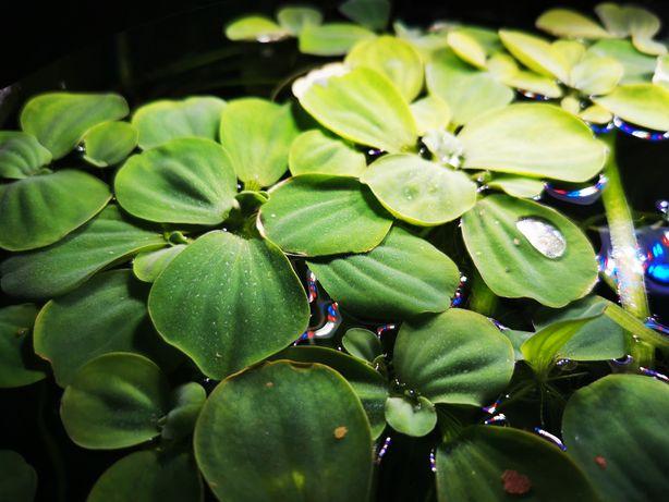 Pistia, pistie rośliny plywajace