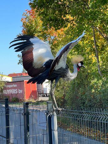 Najpiękniejszy wyjątkowy ptak, żuraw. Para