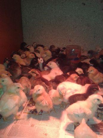 Цыплята суточные, недельные, 2-х недельные.