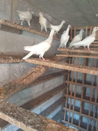 Gołębie młode srebrniaki i perłowe wyloty białe ogony