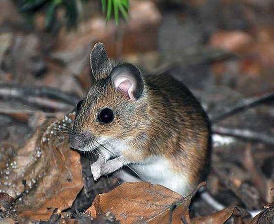 Живые мыши для хищников, бесплатно, самовывоз