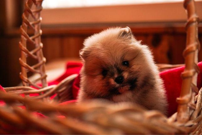 Szpic miniaturowy pomeranian boo rodowodowy szczeniaczek