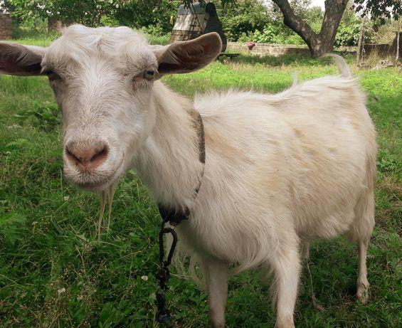 Продам котную козу от зааненского козла