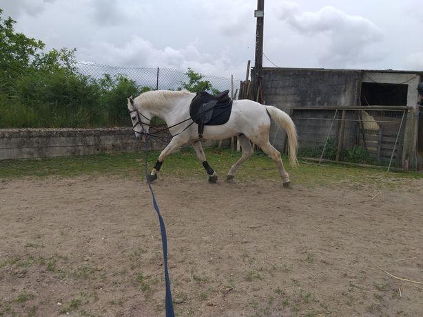 Cavalo cruzado venda urgente