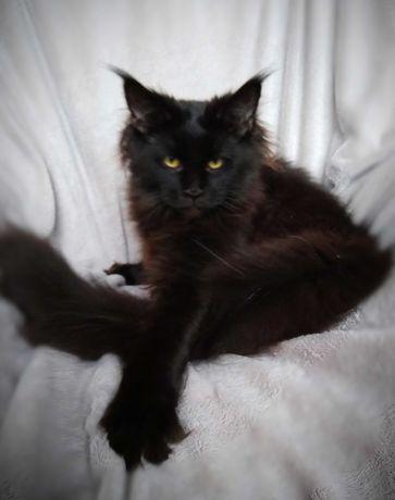 Черная кошка Мейн кун