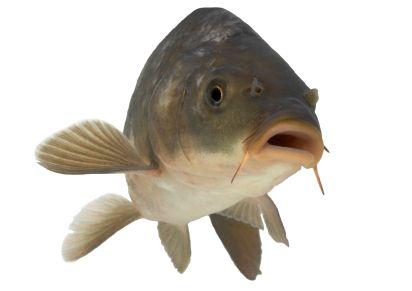 Sprzedaż karpia i innych ryb