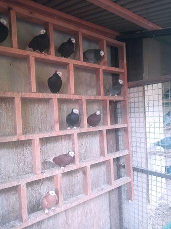 Gołębie ozdobne białogłówki