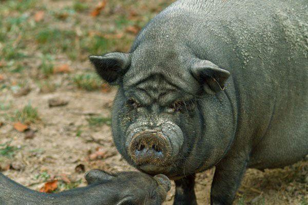 въетнамские поросята, свиньи, свинья, корейские