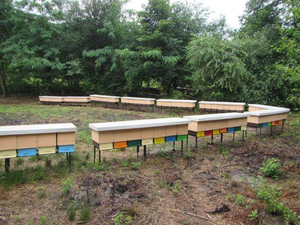 Przezimowane Odkłady Pszczele 2021 Buckfast, Włoszka ,Elgon