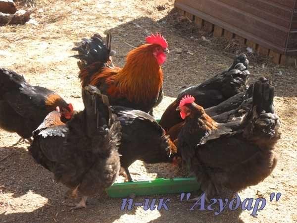 Маран. Инкубационное яйцо. Цыплята. породы маран