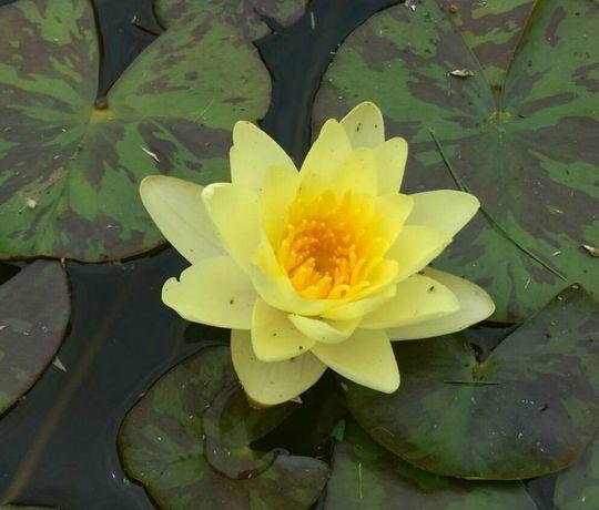 Жёлтые и розовые водяные лилии