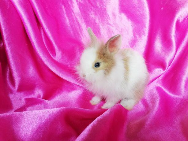Кролик, карликові левогол.
