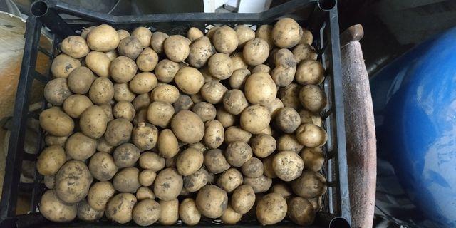Мелкая картошка для свиней