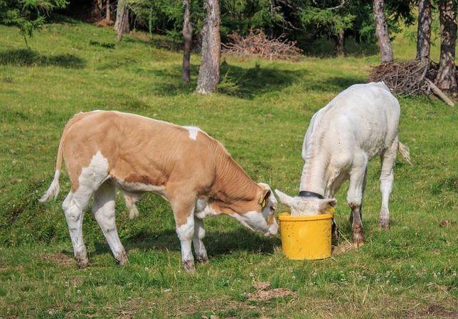Szkaradowo byczki i jałówki do chowu