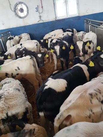 Byczki Mięsne Cielęta Witkowo