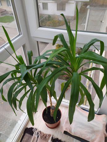 Вазон, пальма, кімнатні рослини, комнатные растения