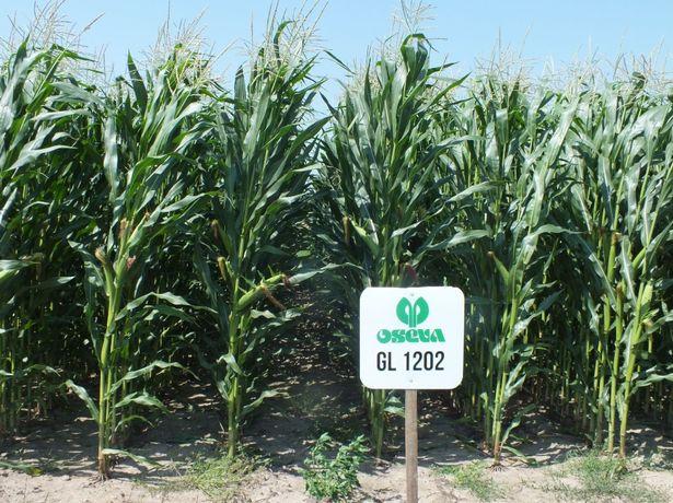 Nasiona kukurydzy kukurydza GL1202 Astrosilo kiszonka ziarno FAO 240