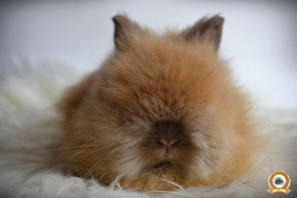 DO ODBIORU Króliki karzełki TEDDY królik karzełek miniaturka MINI LOP Zakliczyn - image 1