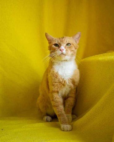 Котик Фунтик. Солнечный (рыжий с белым), ласковый кот, 1 год