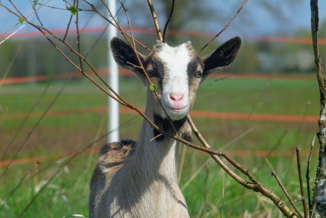 Mleko kozie świeże i pasteryzowane